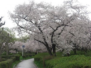 Resized_Cherry_Blossoms